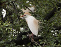 Cattle-egret perched in a tree Royalty Free Stock Photo