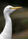 Cattle egret profile portrait of a taken at the kuala lumpur bird park Stock Photos