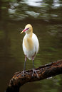 Cattle egret sitting on a branch with water reflection in background Royalty Free Stock Photos