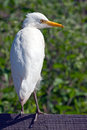 Cattle egret standing on a fence Stock Photography