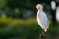 Cattle egret in the sunset Royalty Free Stock Images