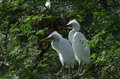 Cattle Egrets Royalty Free Stock Photo