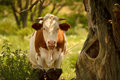 Cattle enjoying the shade taking a breather under a tree Stock Images