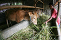 Cattle farmers feed with grass in karanganyar central java indonesia Royalty Free Stock Images