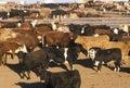 Cattle in feed lots, CO