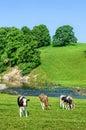 Cattle In Feild Next To River ...