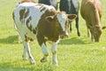 Cattle in field Stock Photo