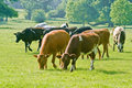 Cattle in field Royalty Free Stock Photo