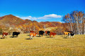 The cattle on the foot of a hill Royalty Free Stock Photo