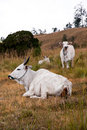 Cattle in Grassland Royalty Free Stock Photos