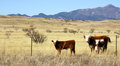 Cattle graze in the prairie hereford open Stock Image