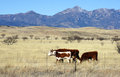 Cattle graze in the prairie hereford open Royalty Free Stock Photo