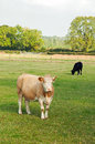 Cattle grazing in a field. Royalty Free Stock Photo