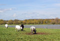 Cattle grazing in flooded field. Stock Photography