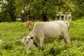 Cattle grazing in open grass field Royalty Free Stock Photo