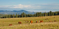 Cattle grazing on pasture in the rocky mountains colorado usa Stock Photos