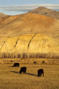 Cattle grazing ranch livestock farm animals western mountain lan landscape near range Stock Photo
