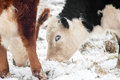 Cattle grazing in snow a covered field Stock Photography