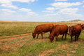 Cattle grazing in the veld free state south africa Stock Image