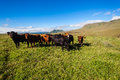 Cattle Heifers Mountains Green Blue Stock Image