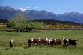 Cattle herd in the Eglinton River Valley Royalty Free Stock Photography
