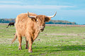 Cattle highland on a field Royalty Free Stock Photos