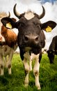 Cattle Like Mammal, Dairy Cow, Fauna, Horn
