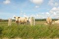 Cattle look ahead from behind a wire fence with wooden posts and lush green grass Royalty Free Stock Photography