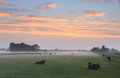 Cattle in a meadow during foggy summer sunrise Stock Photos
