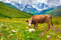 Cattle on a mountain pasture summer sunny day Royalty Free Stock Photography