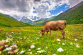 Cattle on a mountain pasture summer sunny day Stock Images