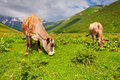 Cattle on a mountain pasture summer sunny day Royalty Free Stock Photos