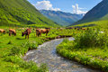 Cattle on a mountain pasture summer sunny day Stock Photography