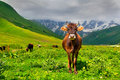 Cattle on a mountain pasture summer sunny day Stock Photos