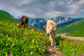 Cattle on a mountain pasture summer sunny day Royalty Free Stock Image