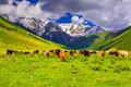 Cattle on a mountain pasture summer sunny day Stock Image