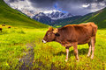 Cattle on a mountain pasture summer sunny day Royalty Free Stock Photo