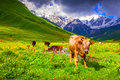 Cattle on a mountain pasture summer sunny day Stock Photo