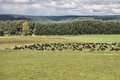 Cattle in new zealand green pasture on plains of waikato region herd Stock Images