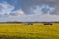Cattle on pasture in morning sunshine green holland Royalty Free Stock Photos