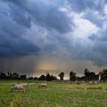 Cattle in rain storm Stock Images