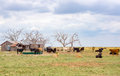 Cattle ranch, Texas Panhandle near Amarillo, Texas, United State Royalty Free Stock Photo