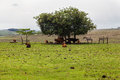 Cattle in rio grande do sul brazil brown and black and a horse below a large tree a farm Royalty Free Stock Photos
