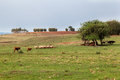 Cattle in rio grande do sul brazil brown and black and sheep on the fields and below a large tree a farm Stock Image