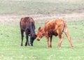 Cattle in rio grande do sul brazil two brown and black cubs playing a farm Royalty Free Stock Images