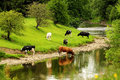 Cattle on the river part of a herd of led by old bull coming down to drink clear waters of ribble at clitheroe in lancashire Royalty Free Stock Images
