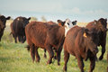 Cattle Run Royalty Free Stock Photo