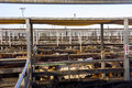 Cattle in sales pens