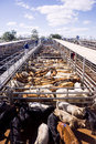 Cattle in sales pens Royalty Free Stock Photo