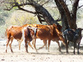 Cattle in the sand in shade herd of on a hot day and angola africa Royalty Free Stock Image